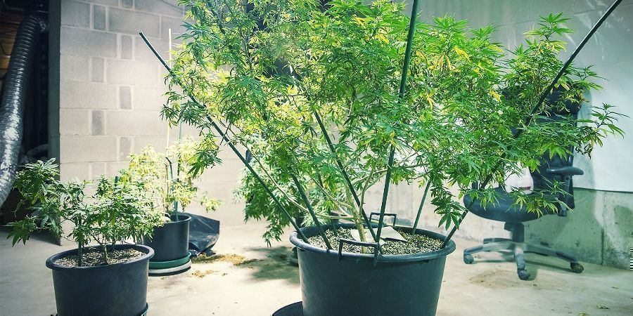 How to Grow Hemp at Home