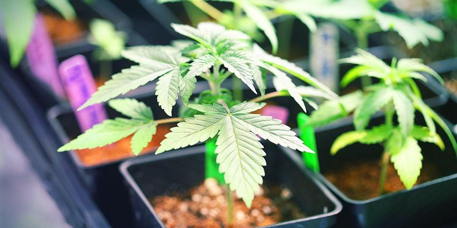 Cannabis Seedfinder: Growing Space