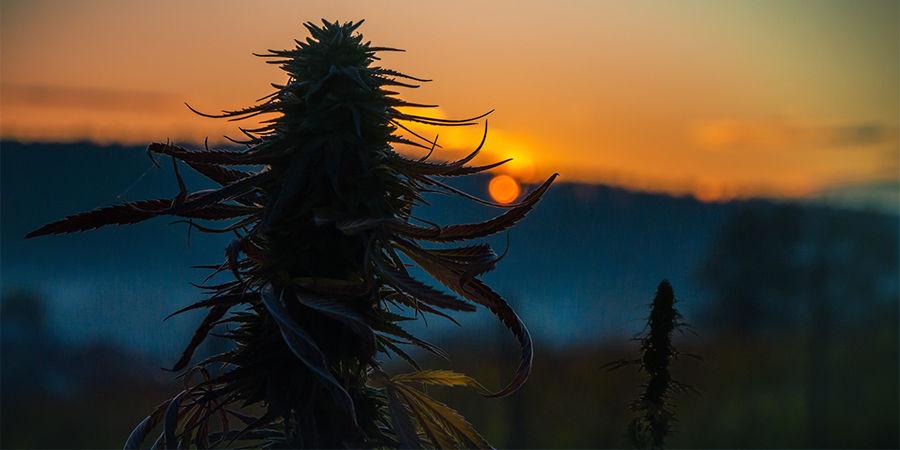 Cannabis Seedfinder: Plant Size