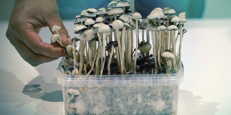 Grow Copelandia Hawaiian Mushroom Grow Kits