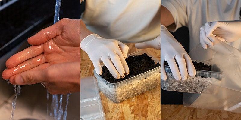 Copelandia Hawaiian Mushroom Grow Kits preparation