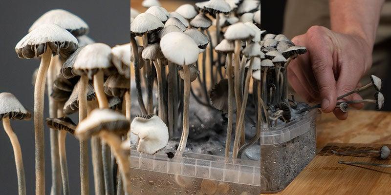 Copelandia Hawaiian Mushroom Grow Kits harvest