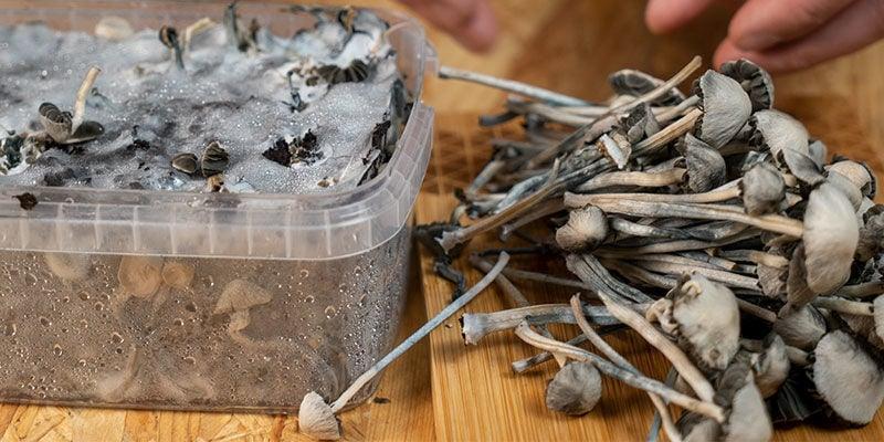 Potency of Copelandia Hawaiian Magic Mushrooms