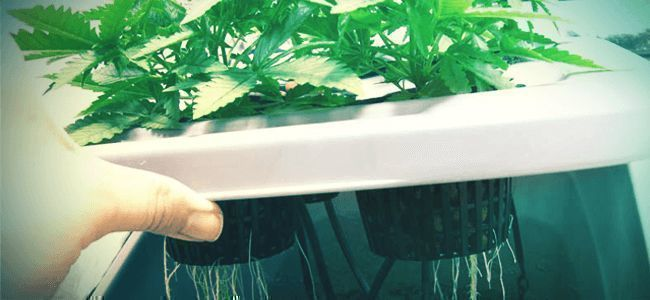 Growing Cannabis With Hydro