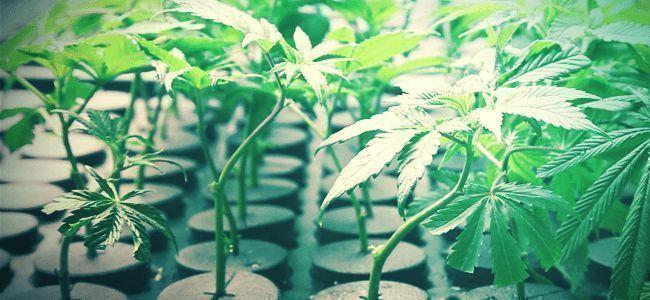 Is Aero-hydroponics A Diffcult Technique