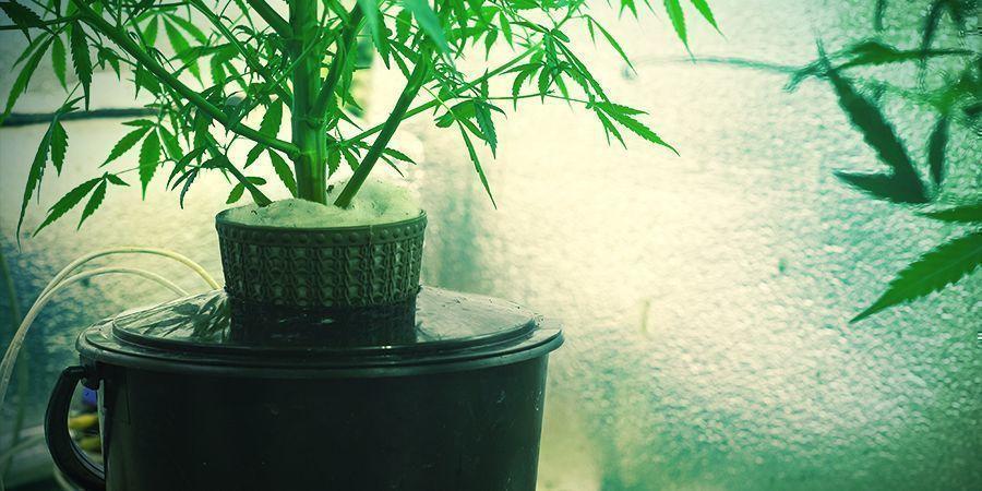 Was ist hydroponische Cannabiskultur?
