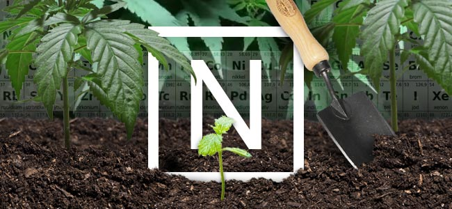 Nitrogen And Cannabis Plants