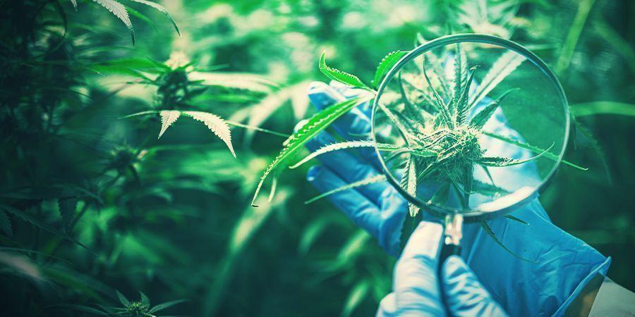 Die Erhaltung Der Wünschenswerten Cannabis-genetik