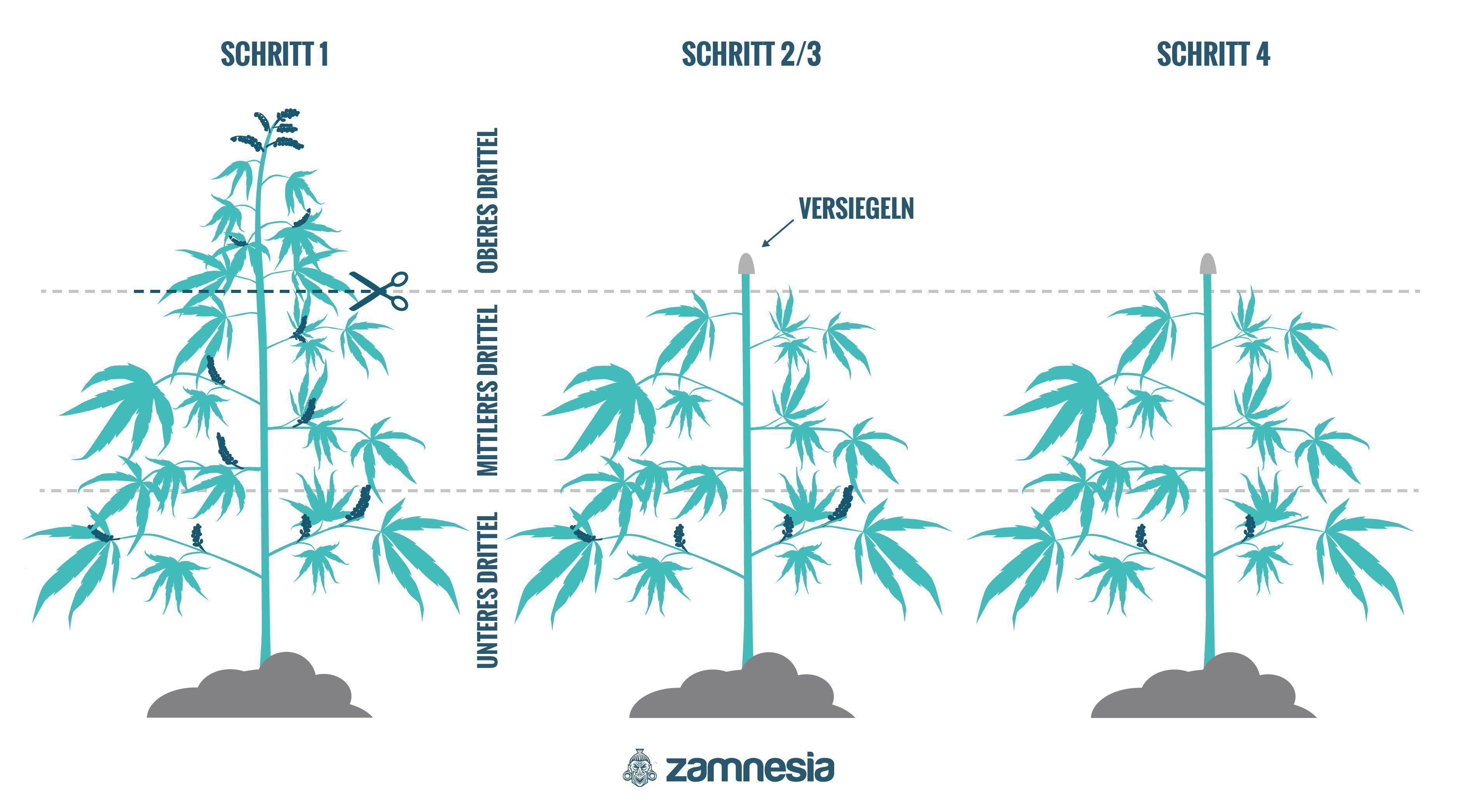 Wie Man Cannabispflanzen Regeneriert