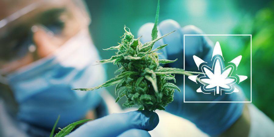 Cannabispflanzen Regenerieren
