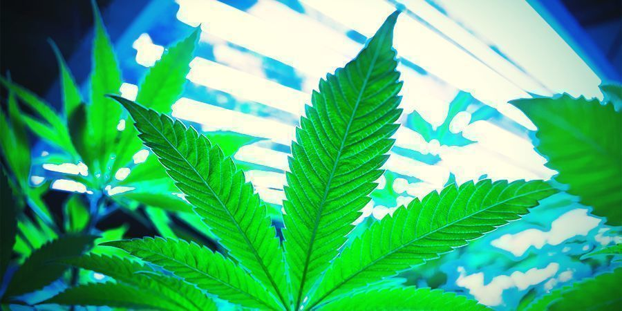 How Does Cannabis Regeneration Work?