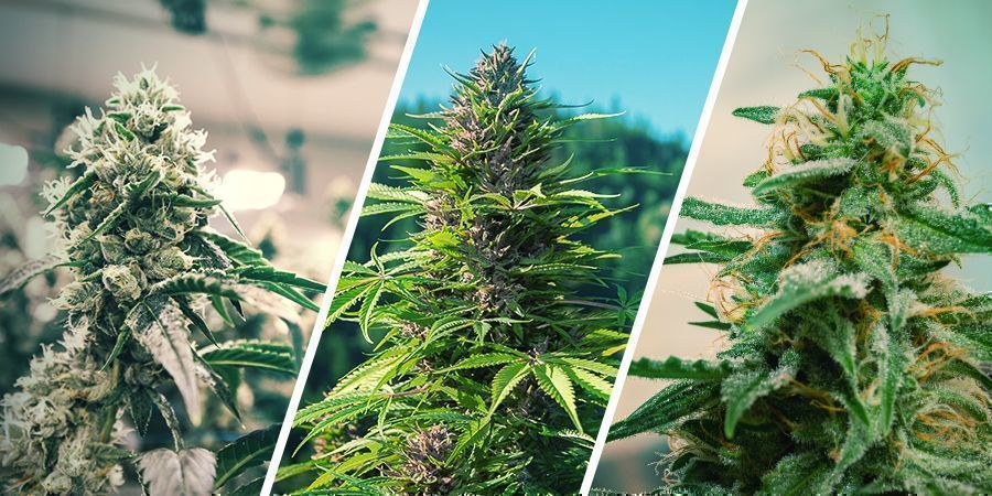 Cannabis Regenerieren: Indoor Vs. Outdoor Vs. Autoflowers
