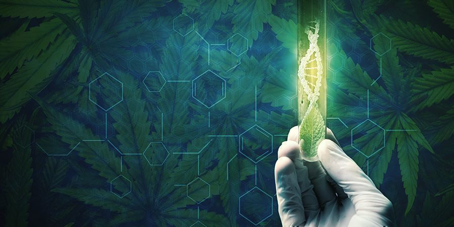 Reasons To Regenerate Your Cannabis Plants