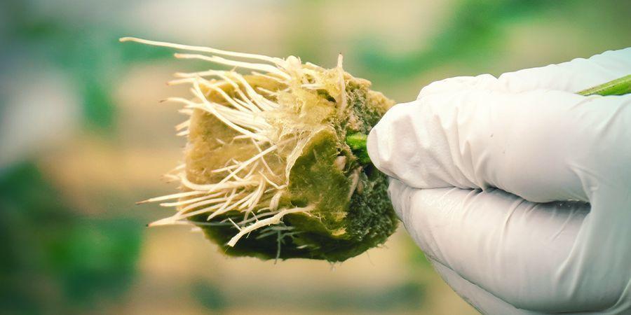 WHY CLONE A CANNABIS PLANT?