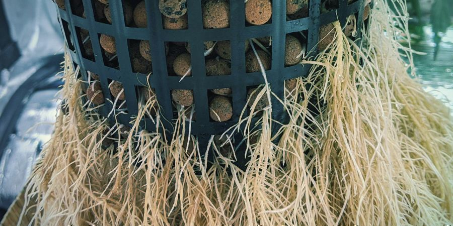 How to Prune Roots in Hydroponic Systems