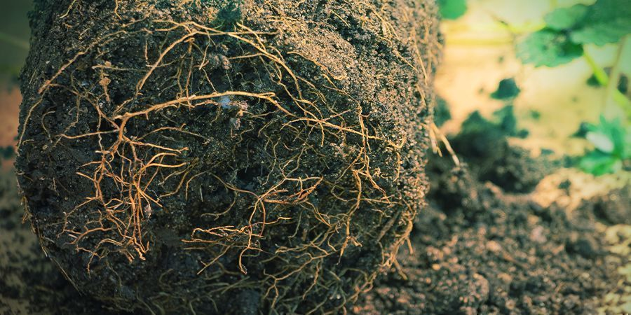 How to Prune Roots in Soil