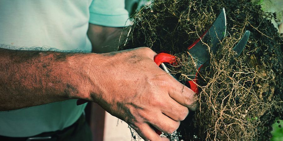 Tools and Guidelines for Cannabis Root Pruning