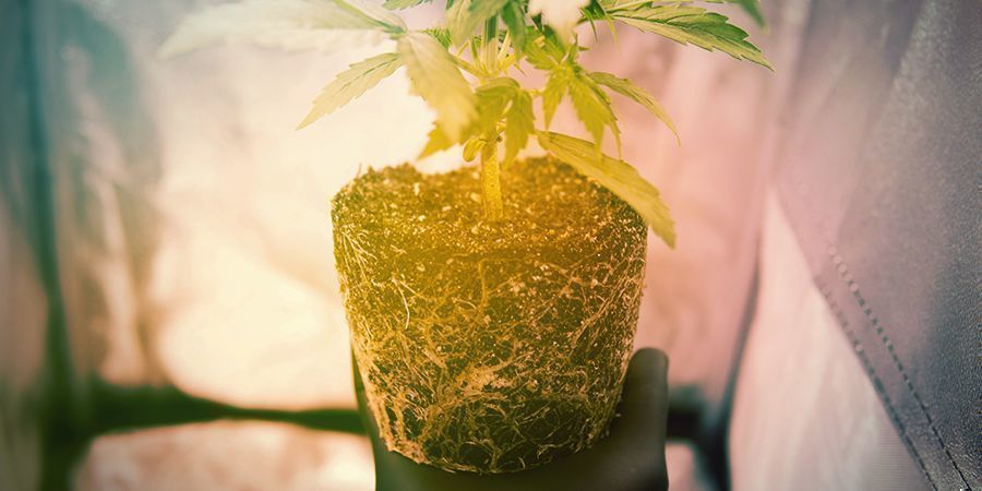 When to Prune Cannabis Roots Manually