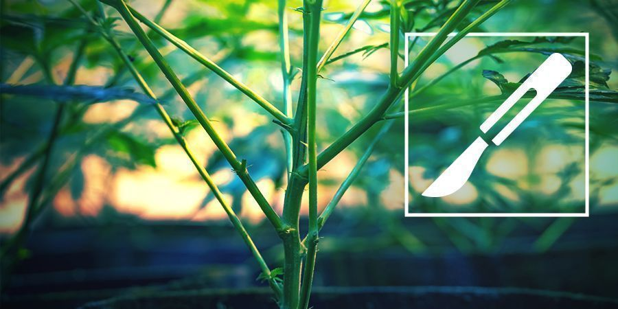 A Guide To Splitting Cannabis Stems