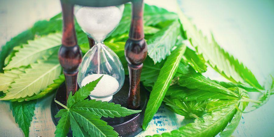 When To Split Cannabis Stems