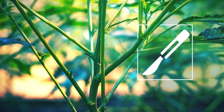 Anleitung zum Spalten von Cannabisstämmen