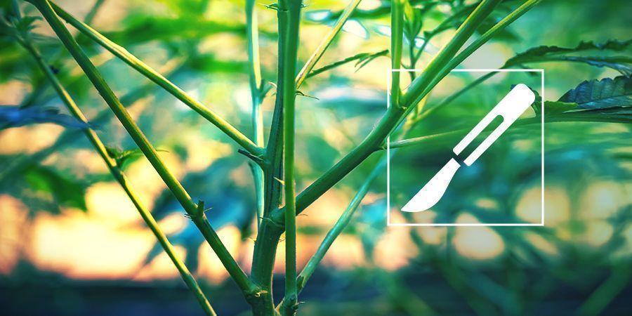 A Guide To Splitting Cannabis Stems