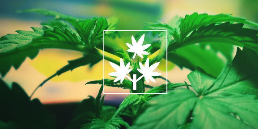 Topping Cannabis: Alles Was Du Wissen Musst