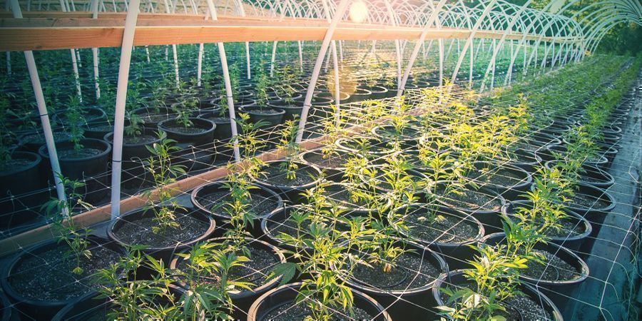 HOW TO TRELLIS CANNABIS OUTDOORS