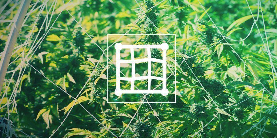 Cannabisanbau Mit Spalier