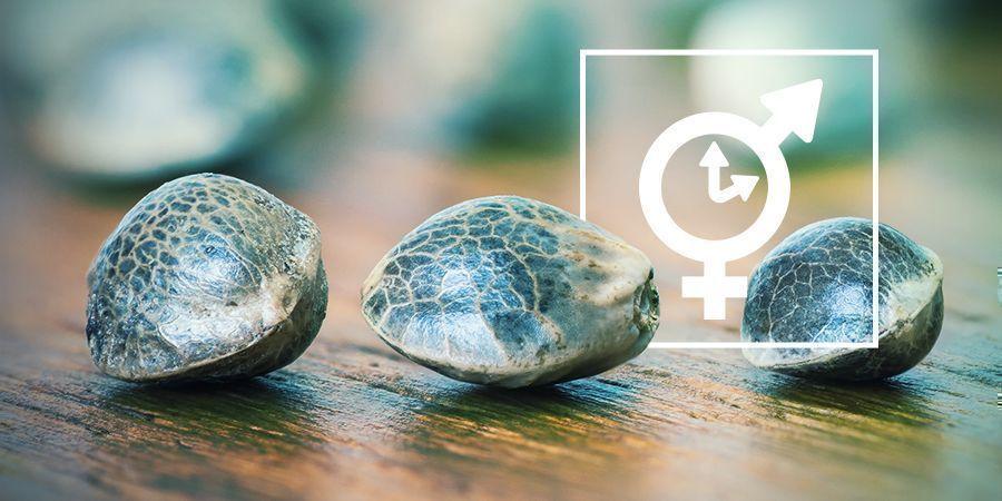 Feminisierten, Regulären Und Autoflowering Samen