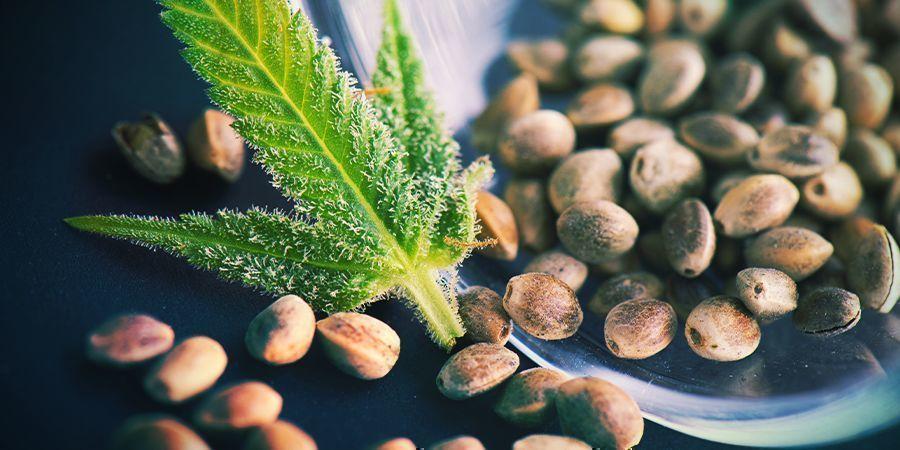 Reguläre Cannabis-samen