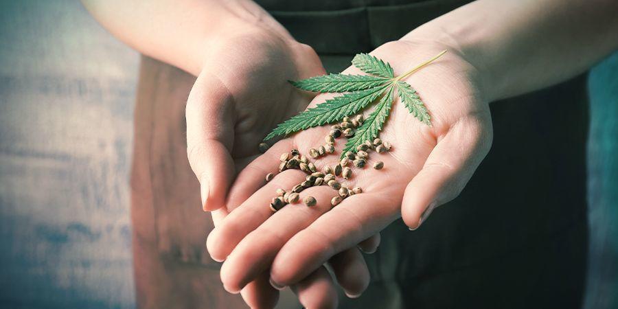 Feminisierte Cannabis-samen