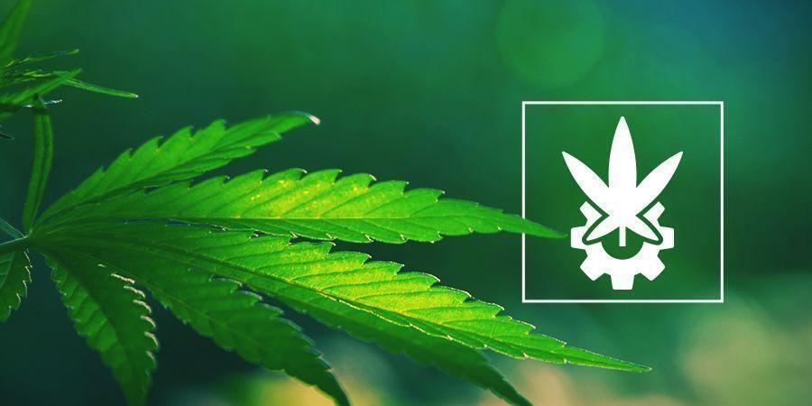 Eine Genauere Betrachtung Von Cannabis Ruderalis Und Autoflowers
