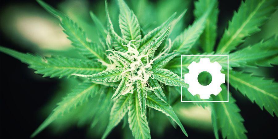 Eigenschaften von Cannabis Ruderalis