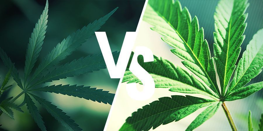 WHAT'S THE DIFFERENCE BETWEEN RUDERALIS AND INDICA/SATIVA?
