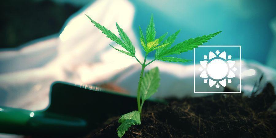 Wann man Ruderalis-Sorten (Autoflowers) pflanzen sollte