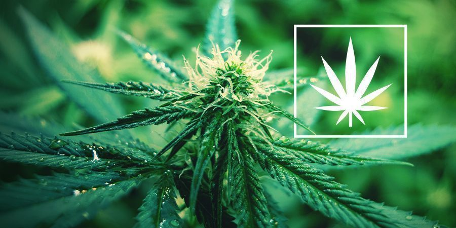 What Is Cannabis Sativa?