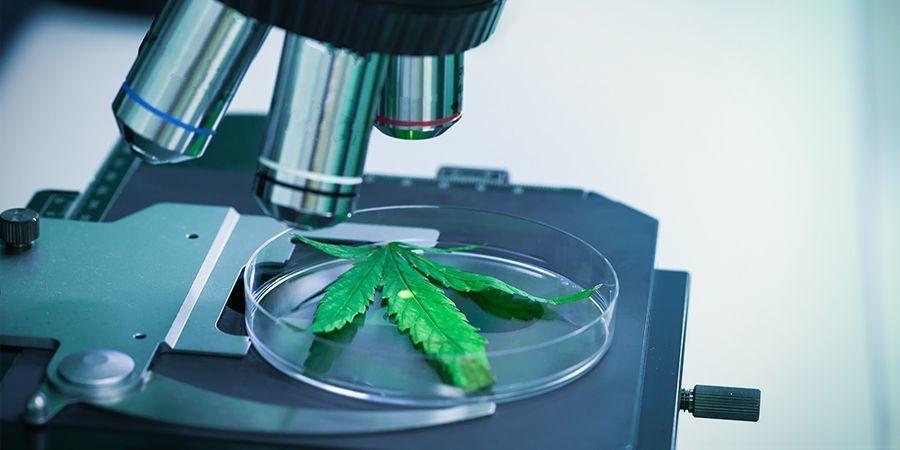 THCV – ein unterschätztes Cannabinoid