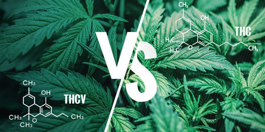 THCV vs THC — What Are the Differences?