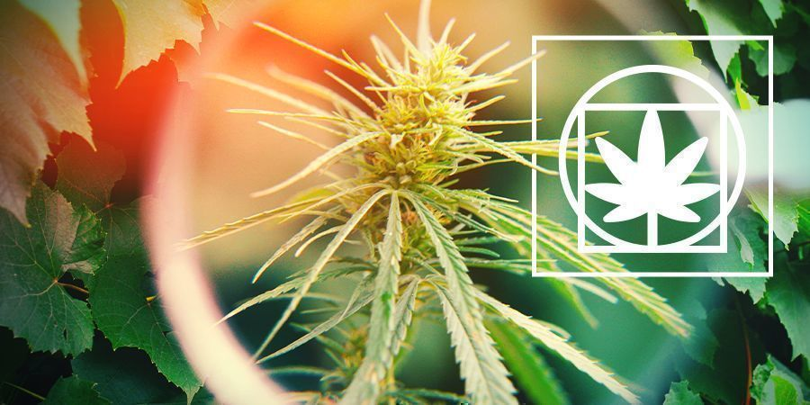 Cannabis Plant Biology