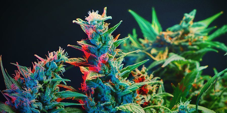 Difference Between Photoperiod And Autoflowering Strains When It Comes To Photosynthesis?