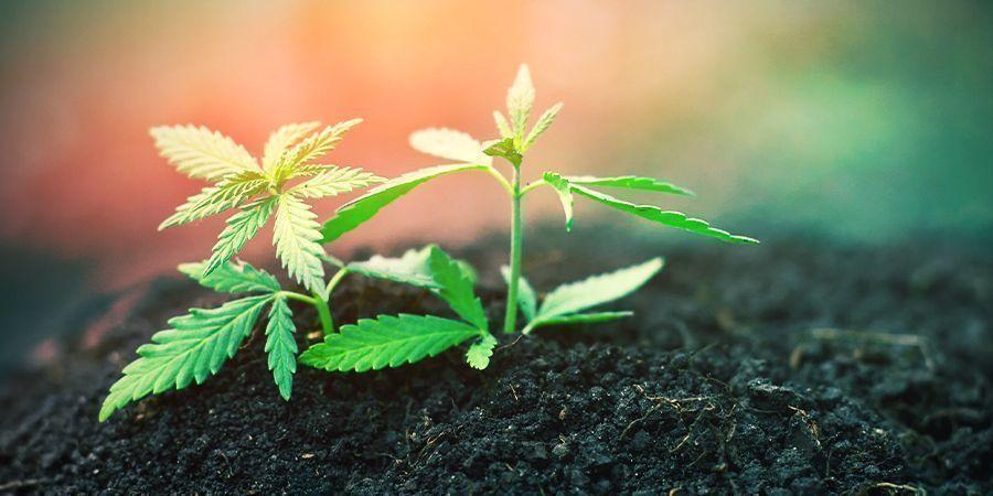Cannabis Keimlingsstadium