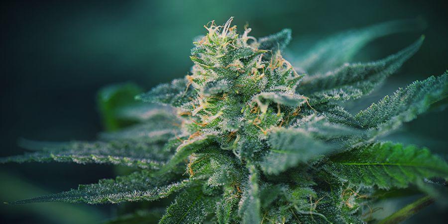 Cannabis Flowering Stage