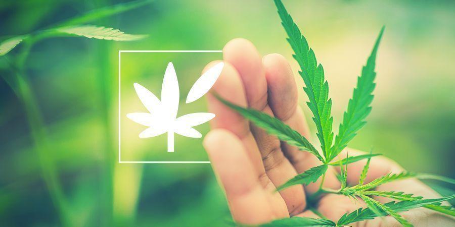 Alles Über Die Anatomie Der Cannabispflanze