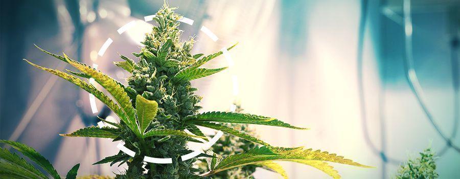 cannabis COLA