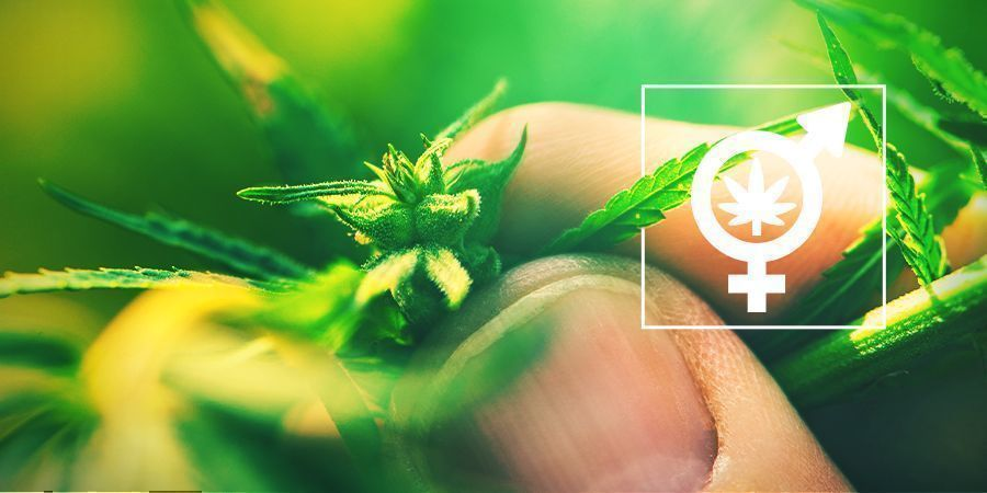 Determine The Gender Of Your Cannabis Plants
