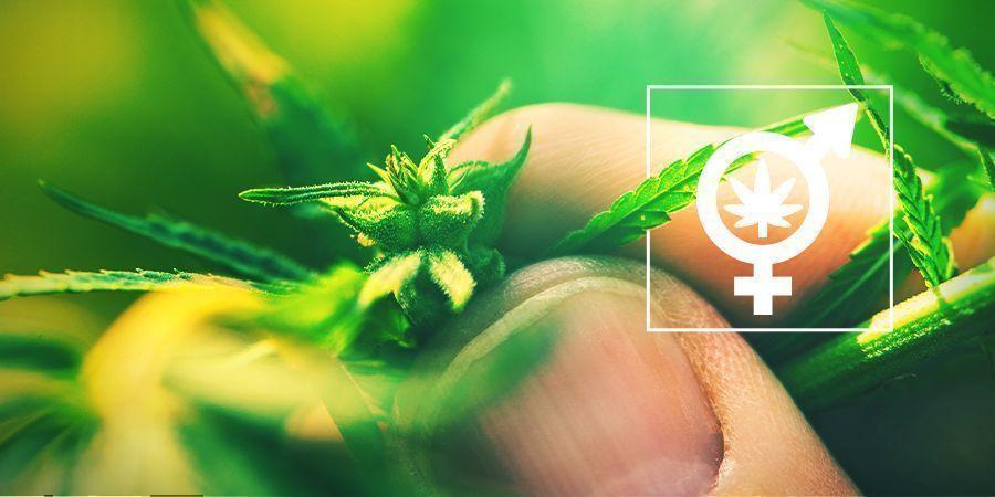 Das Geschlecht Deiner Cannabispflanzen Zu Bestimmen