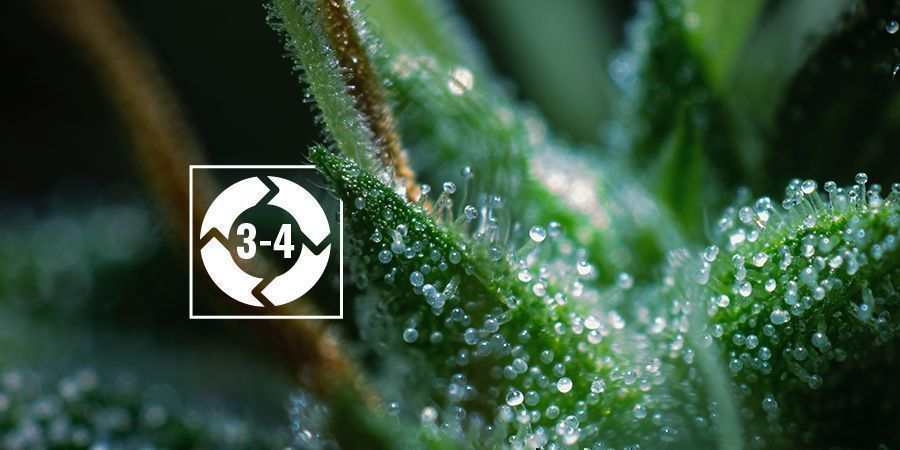 THE TRICHOME LIFE CYCLE