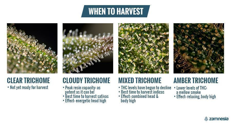 Trichomes: When To Harvest