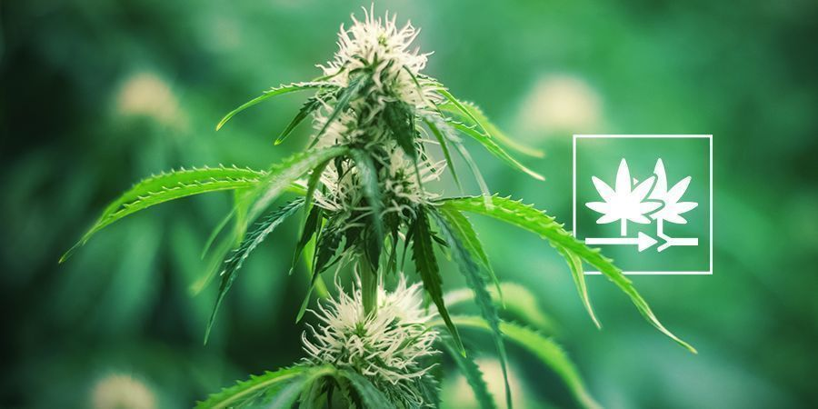 How To Create Your Own Cannabis Strain With Regular Seeds